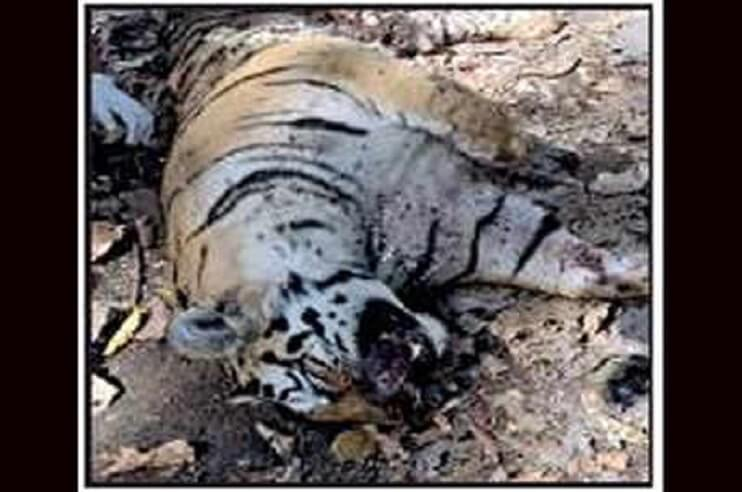 carcass of an adult tiger in pench national park