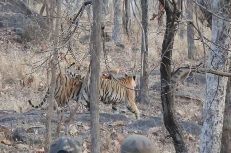 Pench Tiger