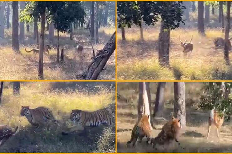 tiger-chasing