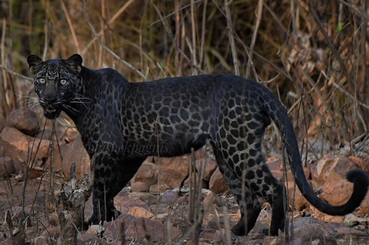 Black Panther Spotted in Tadoba National Park